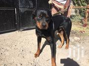 Male Rottweiler on Quick Sale | Dogs & Puppies for sale in Kajiado, Kitengela
