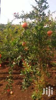Pomegranates( Komamanga)Seedlings Two Hundred Bobs Only | Feeds, Supplements & Seeds for sale in Nairobi, Nairobi Central