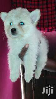 Maltese Male | Dogs & Puppies for sale in Nairobi, Nairobi Central