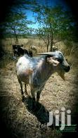 Dairy Goats On Sale   Other Animals for sale in Kabisaga, Nandi, Nigeria