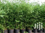 Bamboo Seedlings | Feeds, Supplements & Seeds for sale in Murang'a, Gaturi