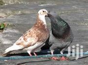 Pigeons/Doves | Birds for sale in Nairobi, Embakasi
