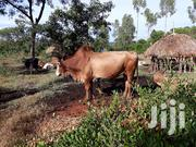A Bull For Sale | Other Animals for sale in Siaya, South East Alego