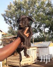 Pure Bred Boerboels 3 Months Old   Dogs & Puppies for sale in Homa Bay, Homa Bay Central
