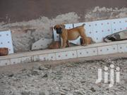 Boerboel Puppies | Dogs & Puppies for sale in Embu, Mbeti North