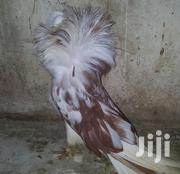 Fancy Birds | Other Animals for sale in Mombasa, Mkomani