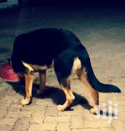 Pure Bred GSD Available for Sale in Mombasa | Dogs & Puppies for sale in Mombasa, Port Reitz