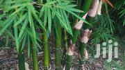 Trees For Sale: Bamboo, Bluegum | Garden for sale in Kakamega, Mumias Central