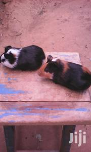 Guinea Pig Pets | Livestock & Poultry for sale in Nairobi, Nairobi South