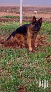 German Shephard Male | Dogs & Puppies for sale in Kiambu, Ndenderu
