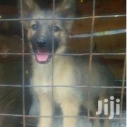 Sable Puppies | Dogs & Puppies for sale in Nakuru, Gilgil