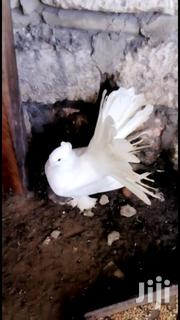 Fancy Pigeons | Birds for sale in Mombasa, Kadzandani