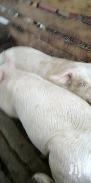 Pigs Boars 9Months Old   Other Animals for sale in Nakuru, Njoro