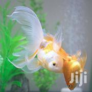 Fish for Aquariums and Ponds | Fish for sale in Nairobi, Nairobi Central