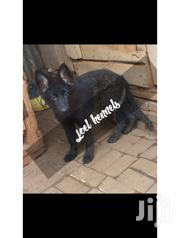 Black In Colour | Dogs & Puppies for sale in Kiambu, Ndenderu