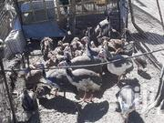 Guinea Fowls | Birds for sale in Nairobi, Ruai