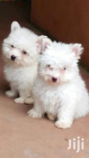 Pure Pets Maltise | Dogs & Puppies for sale in Nairobi, Nairobi Central