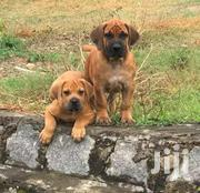 Young Male Purebred Boerboel | Dogs & Puppies for sale in Mombasa, Bamburi