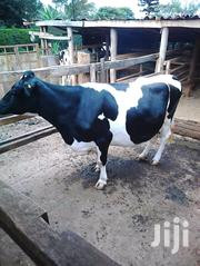 Dairy Cow For Sale | Livestock & Poultry for sale in Meru, Igoji East