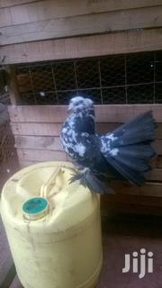 Indian And Saddle Fantails | Birds for sale in Kiambu, Juja