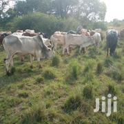Beef Cattle For Sale   Livestock & Poultry for sale in Murang'a, Gatanga
