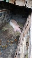 Pigs For Sale | Livestock & Poultry for sale in Mountain View, Nairobi, Kenya