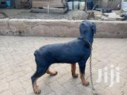 6 Months Rotweiller | Dogs & Puppies for sale in Kiambu, Juja