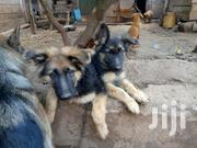 German Shephard Puppies | Dogs & Puppies for sale in Kiambu, Juja