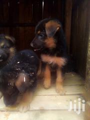 Selling Pure German Shepherds Puppies | Dogs & Puppies for sale in Kisumu, Migosi