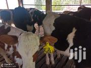 Pedigree Calves For Sale | Livestock & Poultry for sale in Kiambu, Githunguri