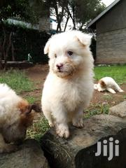 Cute Puppies With Vaccination Certificate Ready for New Home | Dogs & Puppies for sale in Nakuru, Biashara (Naivasha)