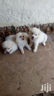 Japanese Spitz Puppies - 2 Male | Dogs & Puppies for sale in Mombasa, Likoni