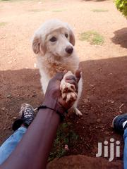 Chihuahua Dog | Dogs & Puppies for sale in Siaya, West Asembo
