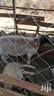 Dorper Sheep. | Other Animals for sale in Kisii, Kisii Central