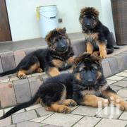 German Shepherd Puppies On Sale | Dogs & Puppies for sale in Kiambu, Township E