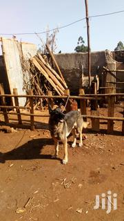 German Shepherds | Dogs & Puppies for sale in Kisii, Bokimonge