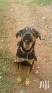 Rottweiler Mix | Dogs & Puppies for sale in Kiambu, Kabete