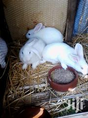 Flemish Giant Rabbits | Livestock & Poultry for sale in Nairobi, Kahawa