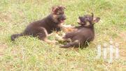 Two Months Old | Dogs & Puppies for sale in Kiambu, Ndenderu