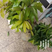 Grafted Apple Mango | Feeds, Supplements & Seeds for sale in Nairobi, Nairobi Central