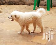 Pet Puppy For Sale | Dogs & Puppies for sale in Nairobi, Nairobi Central