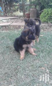 Pure German Shepherd Puppies | Dogs & Puppies for sale in Nairobi, Nairobi Central