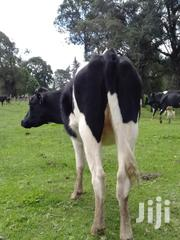 Fresian Incalf Heifers | Livestock & Poultry for sale in Nyandarua, Charagita