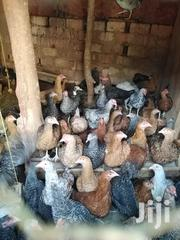 Kenbro Chicken | Livestock & Poultry for sale in Makueni, Kilungu