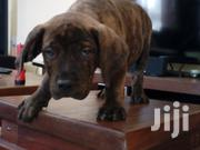 Boerboel Puppies Two Months Old | Dogs & Puppies for sale in Nairobi, Embakasi