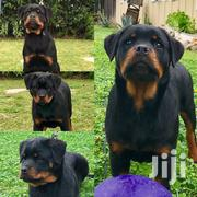 Rottweilers   Dogs & Puppies for sale in Mombasa, Bamburi