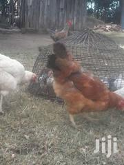Chickens For Sale & Their Cages | Livestock & Poultry for sale in Nakuru, Kiamaina