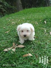 Havannese House Pet | Dogs & Puppies for sale in Nairobi, Kileleshwa