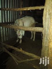 Alphine He Goats | Other Animals for sale in Nairobi, Ruai
