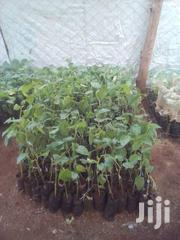 Tree Tomato Seedlings | Feeds, Supplements & Seeds for sale in Machakos, Kinanie